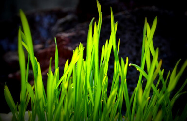 Wheatgrass como alternativa para los suplementos para embarazadas?