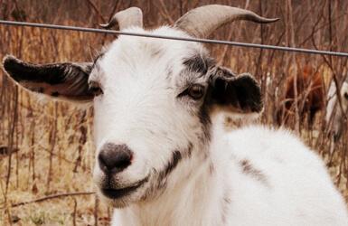 Leche en el embarazo: leche de cabra